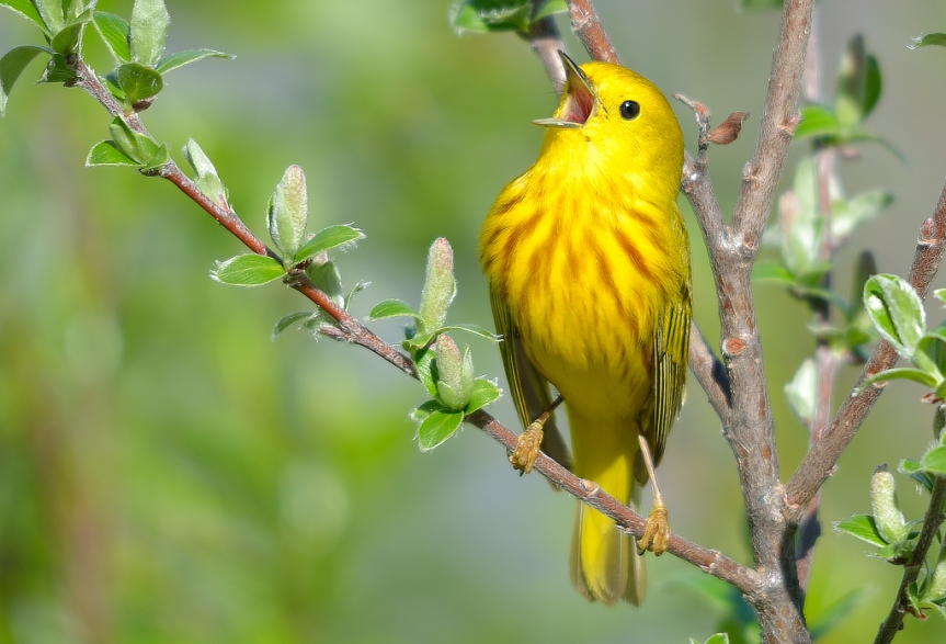 YellowWarble